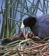 Soap opera in the marsh: Coots foil nest invaders, reject impostors