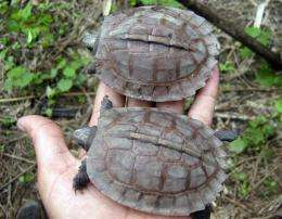 Turtle thought to be extinct spotted in Myanmar (AP)