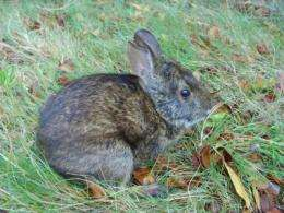 Working to conserve endangered 'Playboy' bunnies