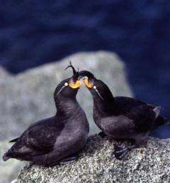 Researchers tie crest size to seabirds' suitability as a mate