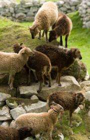 Climate change and the mystery of the shrinking sheep