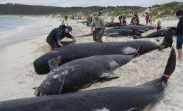 Australian rescuers gather information from dead long fin pilot whales at Hamelin Bay