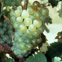Scientists get to the root of ancient case of sour grapes