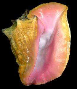 Scientists are first to 'unlock' the mystery of creating cultured pearls from the queen conch