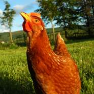 Chilled-out animals: a lower risk for food poisoning