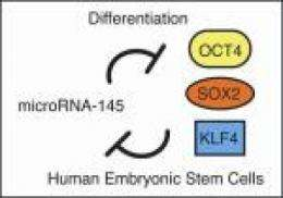 Scientists shed light on inner workings of human embryonic stem cells