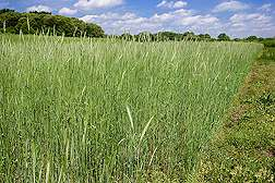Understanding Why Rye Works as a Cover Crop