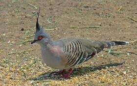 A crested pigeon, Ocyphaps lophotes