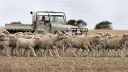 A farmer droving his sheep, northwest of Melbourne