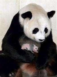 A female giant panda holds her cub