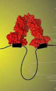 All tied up: Tethered protein provides long-sought answer