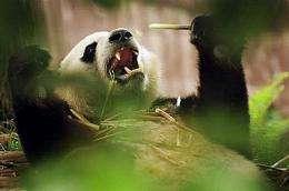 A panda cub plays at the Giant Panda Breeding Centre in Chengdu