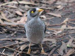 Brains versus brawn: Study finds there's more to the Noisy Miner than just being a backyard bully
