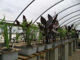 Canna can: Ornamental eliminates pollutants from stormwater runoff
