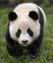 Chinese experts say there are only about 1,600 wild pandas in China