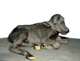 Cloned buffalo calf 'Garima,' seen here at an undisclosed location in India.