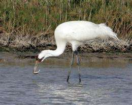 Death rate spikes among migrating whooping cranes (AP)