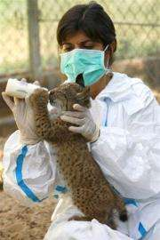 Doctor Astrid Vargas feeding a lynx cub at the captive breeding center