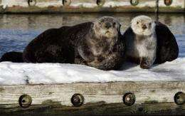 Feds give sea otters habitat protection in Alaska (AP)