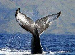 Feds reviewing humpback whale endangered status (AP)
