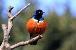 Female birds -- acting just like the guys -- become sexual show-offs in cooperative breeding species