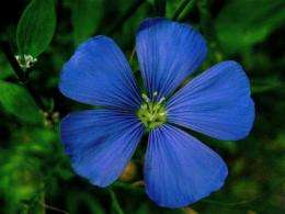 Flax and yellow flowers can produce bioethanol