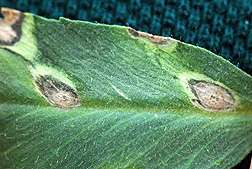 Fungus-on-Fungus Fight Could Benefit Chickpeas