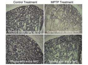 Genetic change prevents cell death in mouse model of Parkinson's disease