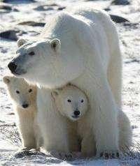 Gov't faces weekend deadline on polar bear rule (AP)