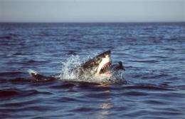 Great white sharks hunt just like Hannibal Lecter (AP)