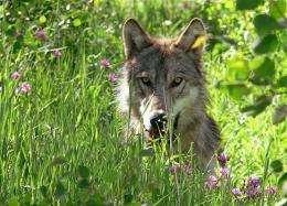 Grey Wolf A