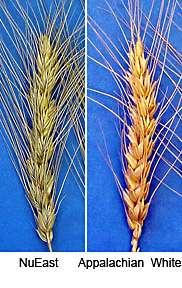 Hard Winter Wheat Varieties Released