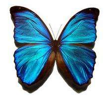 Hearing on the wing: New structure discovered in butterfly ears