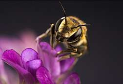 Immunity-Related Genes in Leafcutting Bee Uncovered