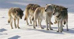Inbreeding taking toll on Michigan wolves (AP)