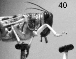 Ladder-walking locusts show big brains aren't always best
