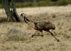 Life is tweet: first bird had hearing like an emu's