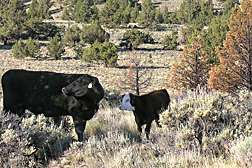 Livestock Can Help Rangelands Recover from Fires