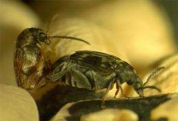 Lustful beetles desire water, not sex