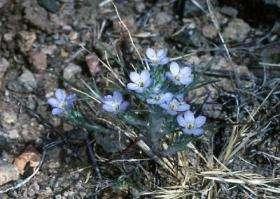 Miniature Woolly Star in Flower