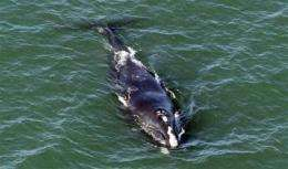 Monitoring of rare whales near NY harbor ends (AP)