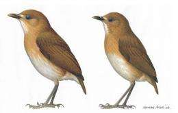 New bird discovered after its extinction