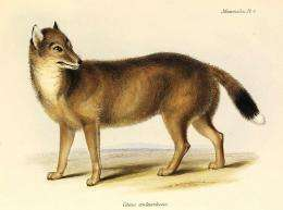 New clues to the Falklands wolf mystery