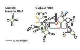 Newly explored bacteria reveal some huge RNA surprises