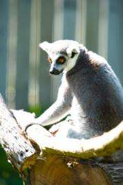 New theory on why male, female lemurs same size