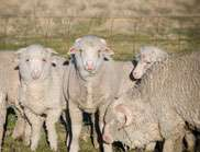 New tool to fast-track genetic gain in sheep