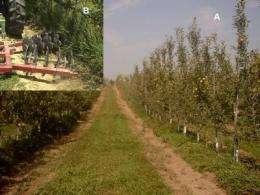 Organic apple orchard floor maintenance techniques
