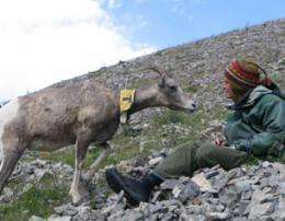 Personality types may contribute to genetic success of bighorn sheep