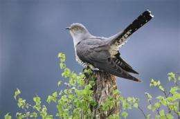 Society warns cuckoo bird in danger of extinction (AP)