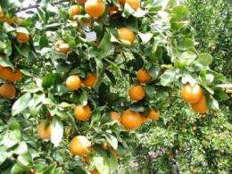 Study of alternate bearing presents recommendations for citrus growers